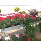 ciclamini-e-crisantemi.jpg
