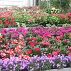piante-fiorite-da-esternoprimavera-estate-particolare-vinca.jpg